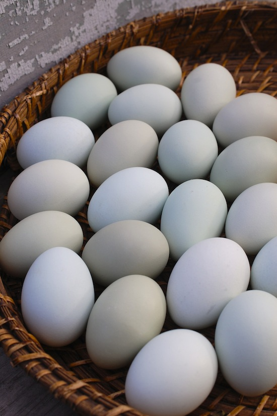 blueish eggs