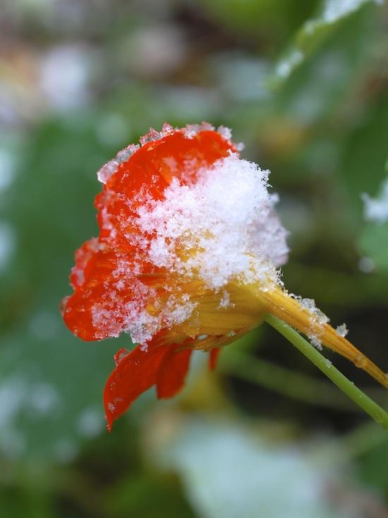 nasturtium snow