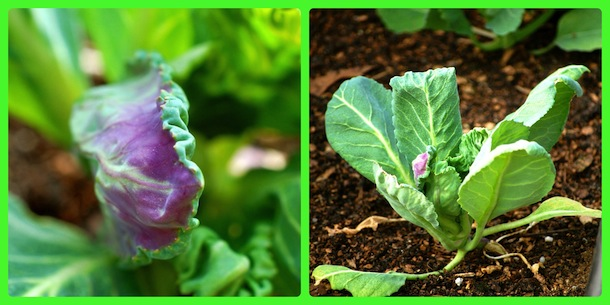 cabbage pic collage 1