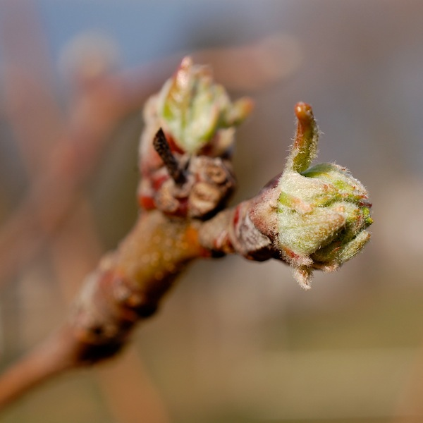 apple bud